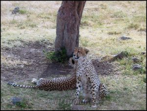 Guépards Kenya