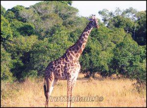 Gyrafe Kenya