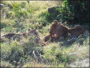 Déjeuner de lionceaux