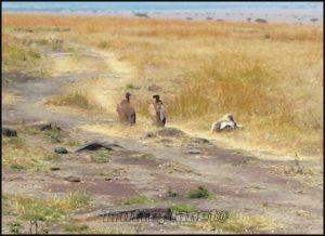 Vautours Kenya