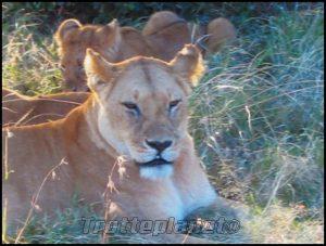 Lionnes Kenya