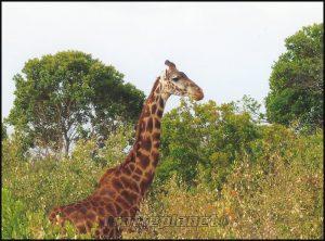 Girafe Kenya