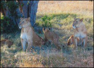 Lionnes masai mara