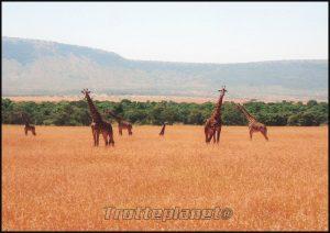 Girafes masai mara