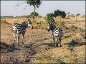 Zèbres masai mara