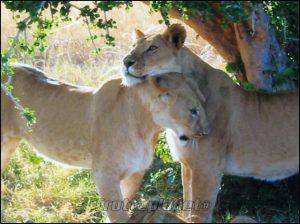 Calin lionnes Kenya