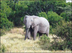 éléphant Kenya