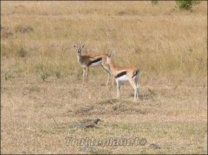 Gazelles Kenya