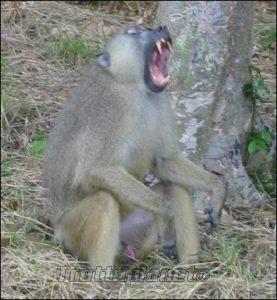 Babouin Kenya