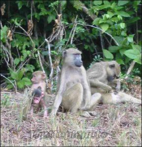 Babouins Kenya