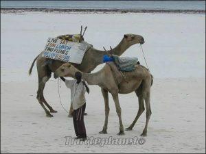 Dromadaires Kenya